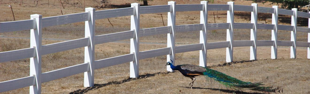 Peacock Roaming Freely